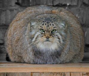 pallas-cat